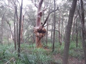 A bulbous section on a tree!